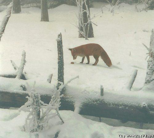 Ein Fuchs im Schnee