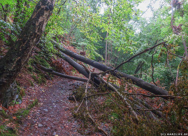 Windbruch auf dem Wanderweg im Bodetal