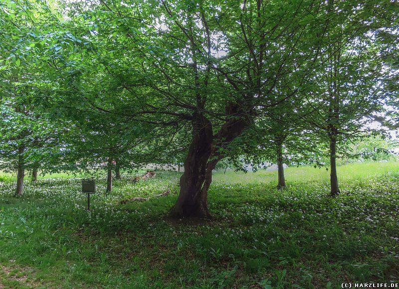 Schneitel-Hainbuchen am Rande des Karstwanderweges im Hainholz
